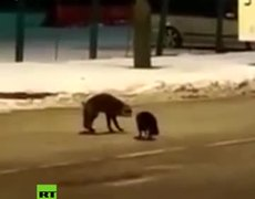 #VIRAL: Fox & cat battle in Russian-Polish border