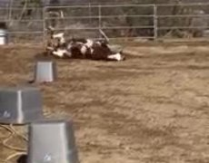 Horse Rolls and Jumps Around Playfully in Dirt