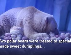 #Polarbears enjoy Lantern Festival treat at Shanghai zoo
