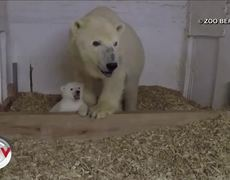 Polar bear steals hearts at zoo in Germany