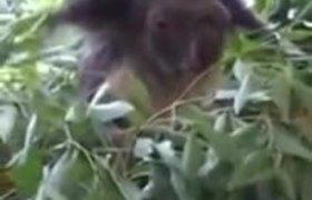#VIRAL: Yoda reincarnates in a tender koala