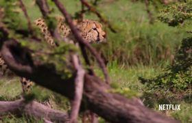 Our Planet | Cheetah Hunt | Official Clip | Netflix