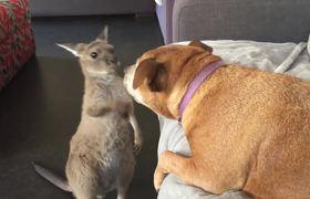 #VIRAL: Kangaroo Joey Shows Dog Who's Boss