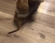 #OMG: Playful Meerkat and Cat Wrestling Match