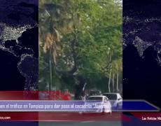 Policías detienen el tráfico en Tampico para dar paso al cocodrilo 'Juancho'