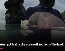Meet a cuddly baby dugong named Marium