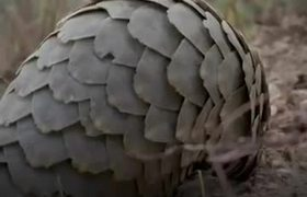 Pangolin: a mammal with scales on the verge of extinction