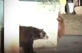 Un osezno trata de rescatar a su hermano atrapado