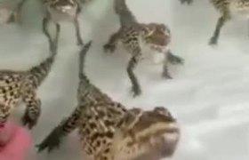 Los bebés cocodrilo suenan como disparos de láser