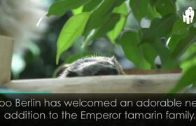 Tamarin Family Members Take it in Turns to Cuddle Adorable New Baby!