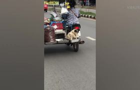 Pug Rides On Motorcycle Food Trailer
