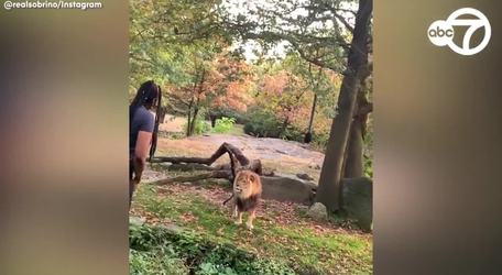#VIRAL: Woman sneaks into Bronx Zoo's lion den