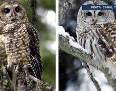 create controversy after killing owls to save species