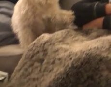 #CUTE: Small Doggo Paws for Attention from Owner