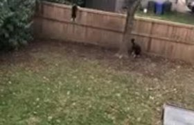 Dogs Excitedly Jump To Look On Other Side Of Fence