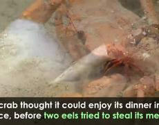 #VIRAL: Crab Versus Eel in Incredible Tug-of-War Over Deep-Sea Meal