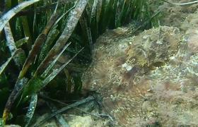 White Eyed Octopus