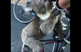 A koala asks a cyclist for water in the heatwave