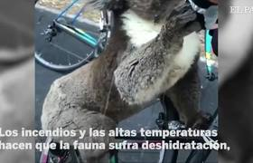A KOALA 'asks' WATER to some Australian CYCLISTS