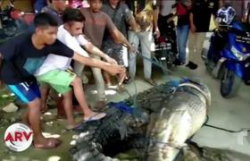 Capture a 16-foot-long crocodile in Indonesia