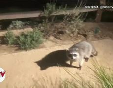 Raccoons pretend to be statues and the video goes viral