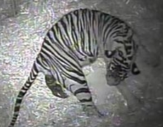 Video of the birth of a tiger at London Zoo
