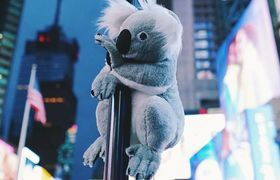 Adorable Stuffed Koalas invade the streets of New York