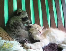 Raccoon Massages Cat