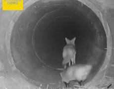 #VIRAL: Unusual !: Coyote and badger star in tender friendship and cross a tunnel like a Disney movie