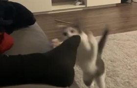 Cat Swipes at Sock and Splits