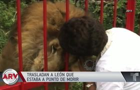 Jupiter the lion almost dies of depression and will finally have a happy ending
