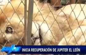 Jupiter lion recovery begins