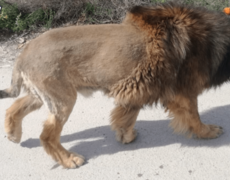 Dog disguised as a lion unleashes panic in a town in Spain