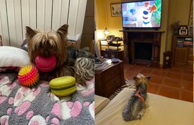 Pets celebrate quarantine and become office assistants