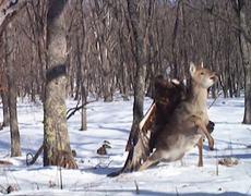 Golden Eagle attacks Deer VIDEO
