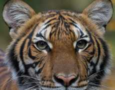 NYC Tiger Tests Positive for Coronavirus