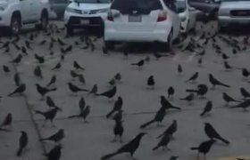 #|VIRAL: Crows (or grackles?) invade Walmart parking lot in Houston, Texas