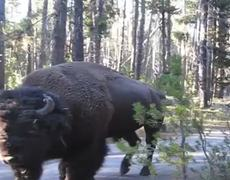 WTF How to be quiet around a Bison Viral Video