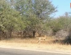 Cheetah Chases Impala Antelope Into Tourists Car on Safari