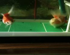 Goldfish plays football scores goals