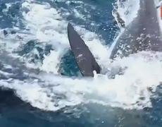 Caught on Video Giant Great White Shark Attacks Another Great White