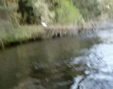 OMG Balheaded Eagle Takes fish right off my fly line and goes for a run Original Video