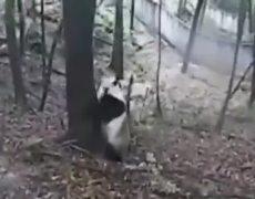 CCTV Video Terrified pandas panic as earthquake hits China