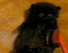 Tiniest Fluffiest and Cute Black Kitten Is Not Sure How To Feel About Brushing