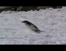 Bellyflopping penguin