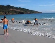 Brazilian lifesaving to 30 dolphins stranded on a beach