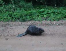 Beaver Kills a Man Original Video