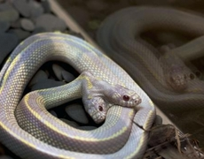 Twoheaded snake scares Moscow Zoo visitors