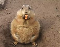 Fat prairie dog is eating