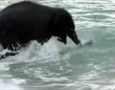 First time of baby elephant on the beach